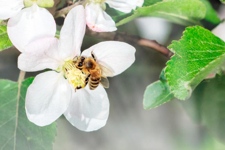 manuka honey immunity