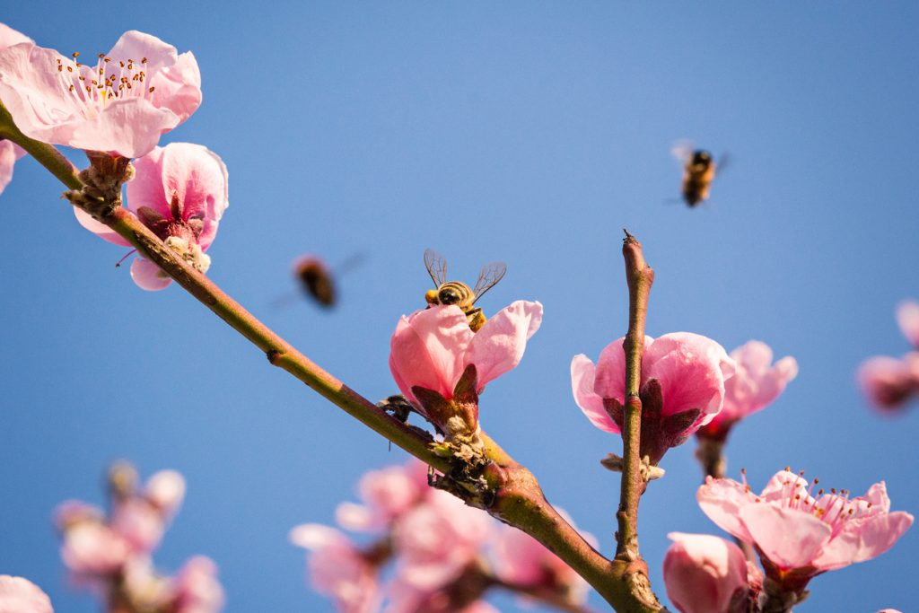 Almond Pollination via Transporting Millions of Bees